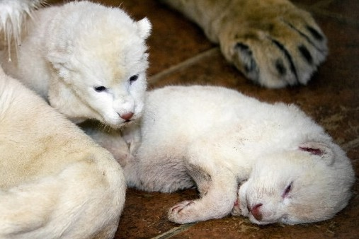 Deux lionceaux blancs sont nés au zoo de... (Photo: AFP)