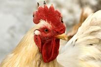 Coco, un coq qui chantait la nuit dans un petit village en France, a sauvé...