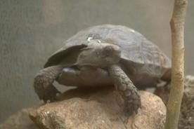 Paralysée des pattes arrière, Arava, une tortue géante du Zoo biblique de...
