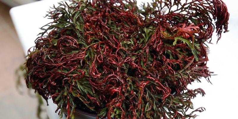 La sélaginelle «Ruby Red».... (Photo Robert Mailloux, La Presse)