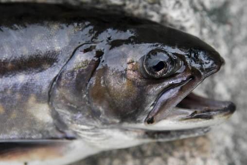 Un poisson pêché sur deux est rejeté en mer. Trop... (Photo: Armand Trottier)