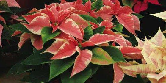 Recevoir une plante de Noël est un défi... (Photo: www.jardinierparesseux.com)