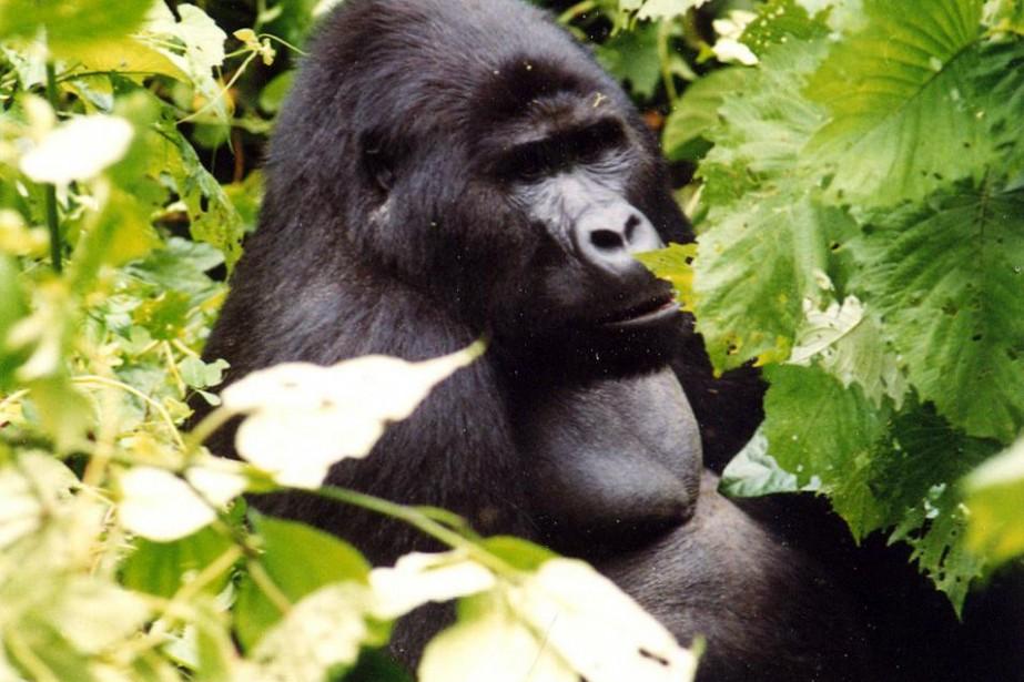 Les grands singes comme les gorilles (notre photo),... (Photo: archives La Presse)