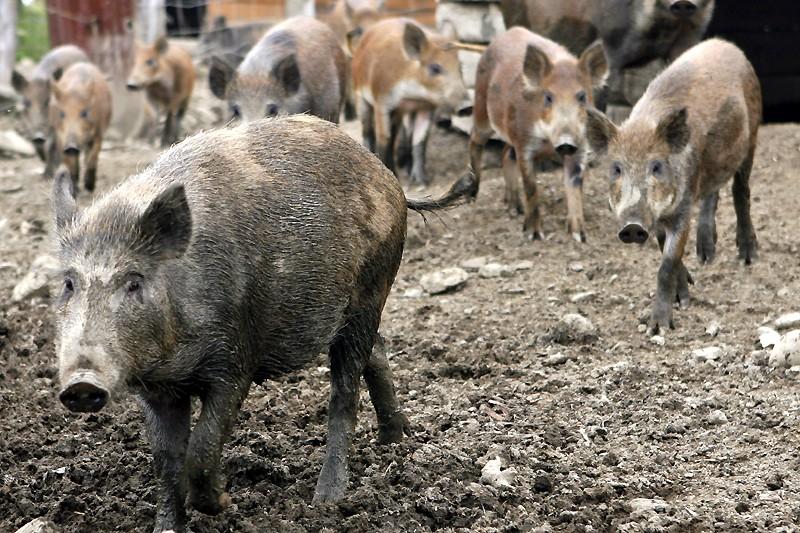 Les sangliers sauvages d'Allemagne se reproduisent trop vite... (Photo: Robert Mailloux, archives La Presse)