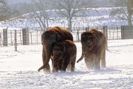 Des éléphants d'Asie s'amusent dans la neige.... (Photo: AFP)