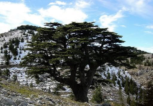 Le changement climatique menace les c dres du liban esp ces menac es - Cedre bleu du liban ...