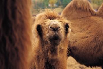 Des chameaux devant être livrés en Bulgarie sont bloqués dans le froid depuis...