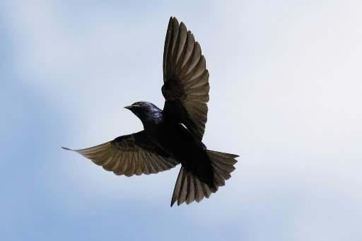 Une hirondelle noire... (Photo: archives La Presse)