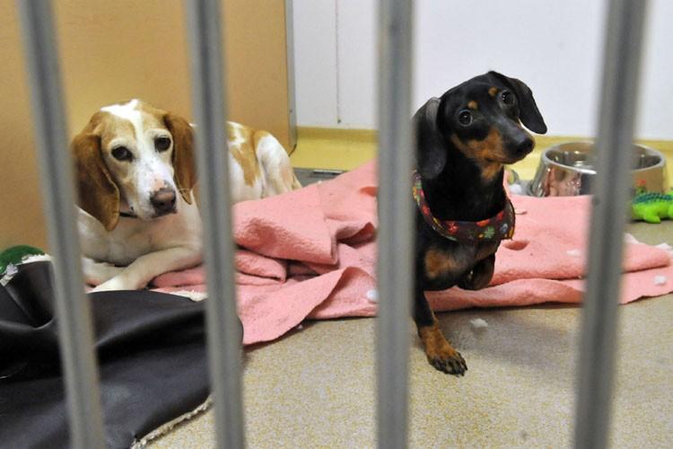 Des chiens provenant d'une usine a chiots rescapés... (Photo: La Presse)