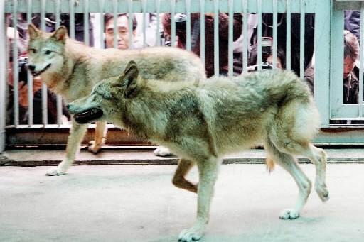 Snuwolfy, une femelle clonée née en octobre 2005,... (Photo: AP)