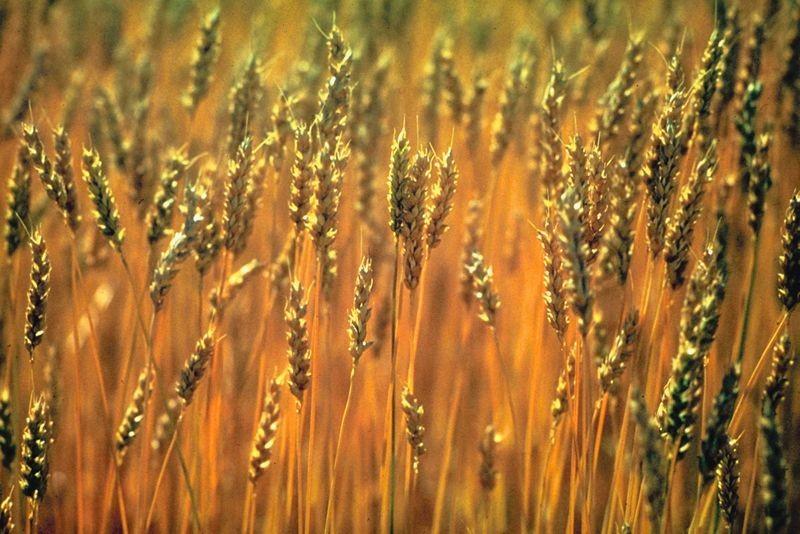 Le génome d'une petite herbe des régions tempérées, cousine d'une plante...