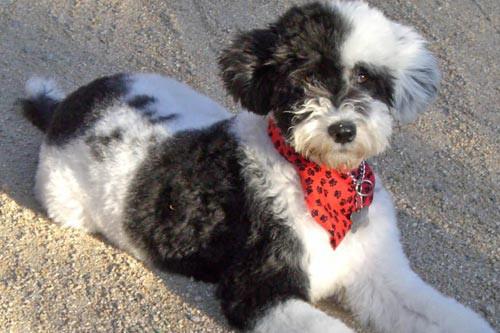 Un chien d'eau portugais âgé de quelques mois....