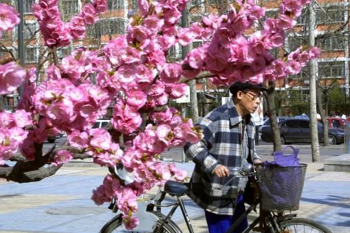 Un cerisier en fleurs... (Photo: AP)