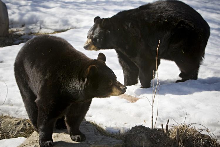 Deux  ours noirs qui logent à l'Écomuseum,... (Photo: Patrick Sanfaçon, La Presse)
