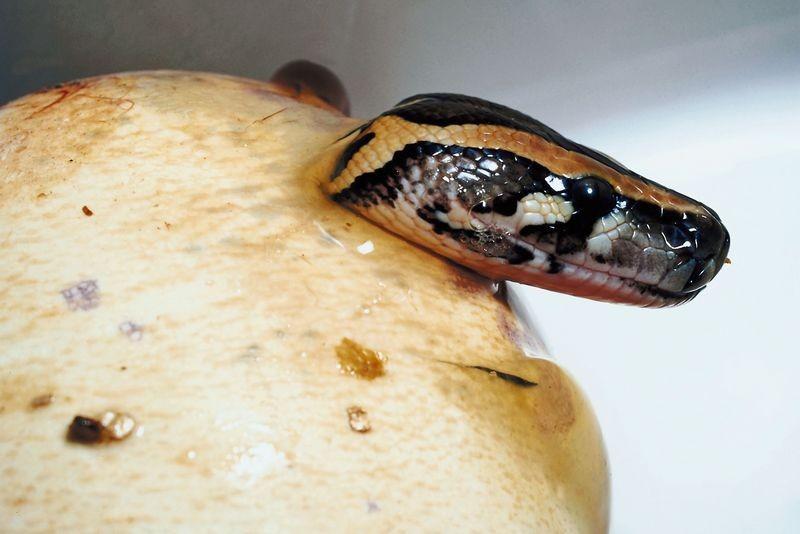 Un python nouveau-né sortant de l'oeuf....