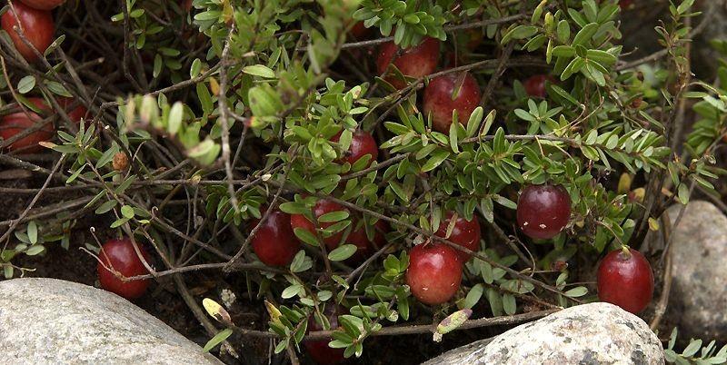 Un de mes plants de canneberge photographié fin... (Photo Pierre McCann, La Presse)