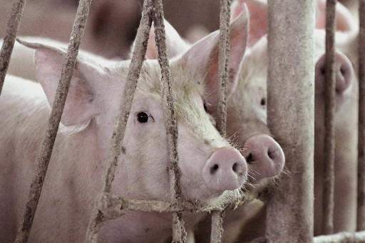 On sait à présent que le virus A (H1N1) peut se transmettre de... (Photo: AFP)