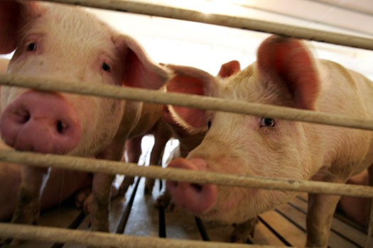 Des porcs de l'Alberta auraient été infectés par... (Associated Press)