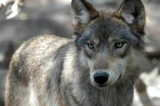 Le loup gris... (Photo: AP)
