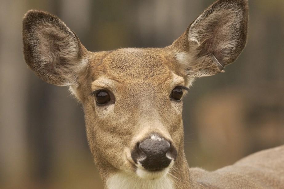 Des cerfs et autres cervidés peuvent disséminer des... (Archives La Presse)