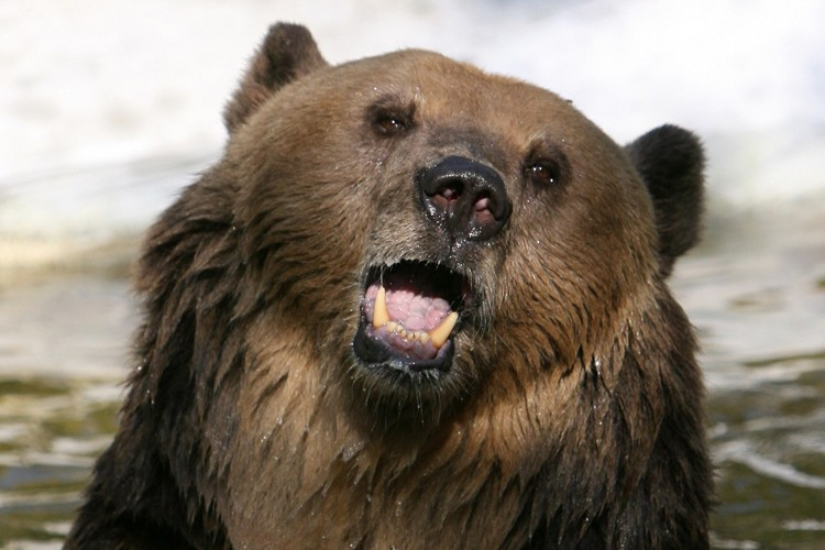 Un ours brun effrayé par un chien à Knoxville, dans le Tennessee... (Photo: AP)