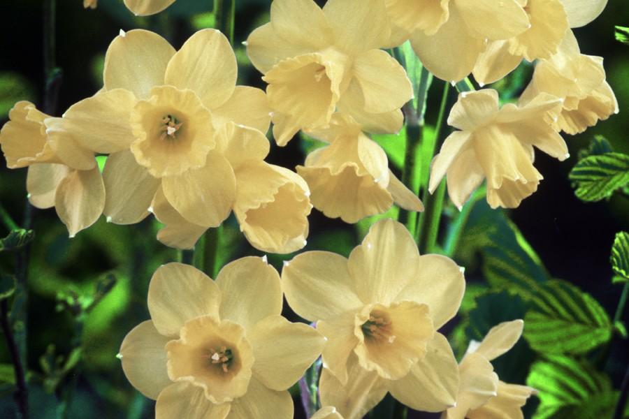 Les fleurs des narcisses Jonquilla sont comestibles.... (Photo: Archives La Presse)