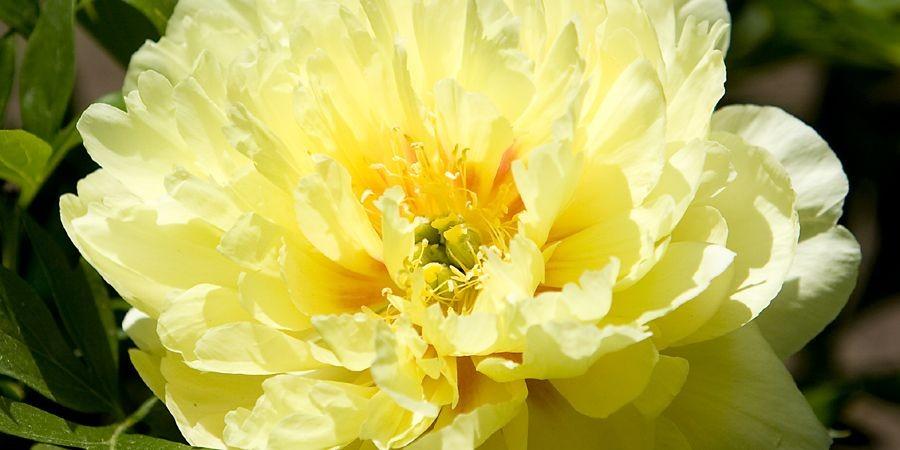 Les pivoines à fleurs doubles ont tendance à... (Photo: François Roy, La Presse)