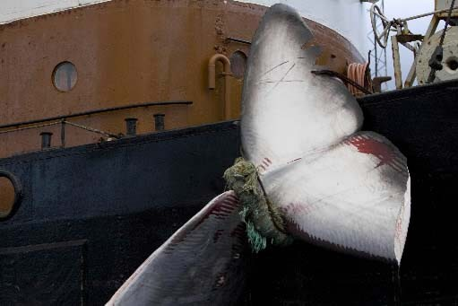Queue de baleine attachée à un navire de... (Photo Reuters)