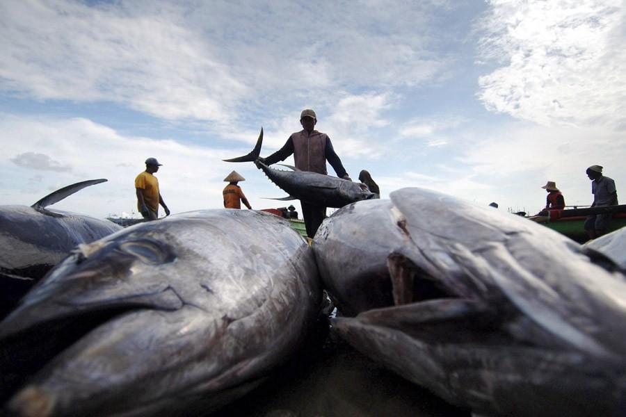 Des pêcheurs déchargent les thons qu'ils ont pêchés... (Photo: AFP)