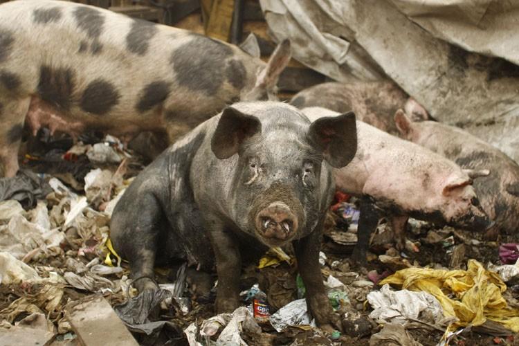 Le Conseil canadien du porc (CCP) s'est associé à... (Photo: Reuters)