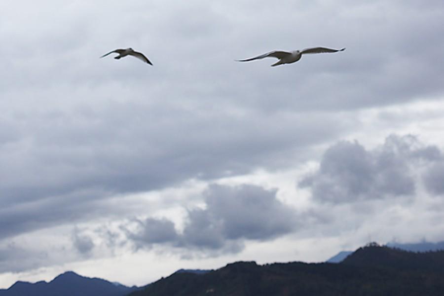 La colombine longup (Ocyhaps lophotes), un... (Photothèque La Presse)