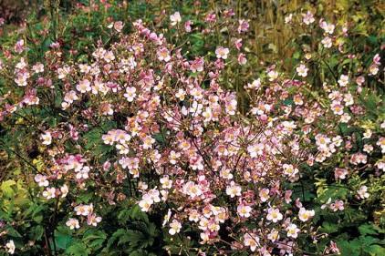 Anemone tomentosa 'Robustissima'... (Photo: www.jardinierparesseux.com)