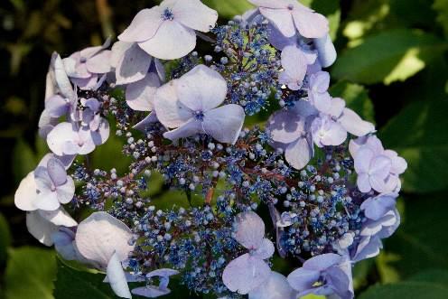 L'hortencia «Twist ans Shout». La coloration bleue est... (Photo: La Presse)