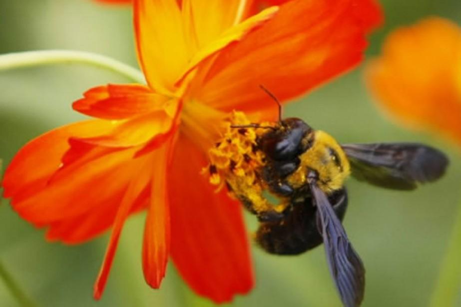 Quelque 500 chercheurs et 10000 apiculteurs ou professionnels... (Photo Reuters)