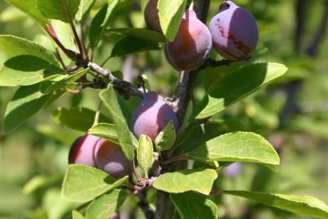 L'aspect de la prune de Damas est unique:... (Photo: Anne Desjardins, collaboration spéciale)