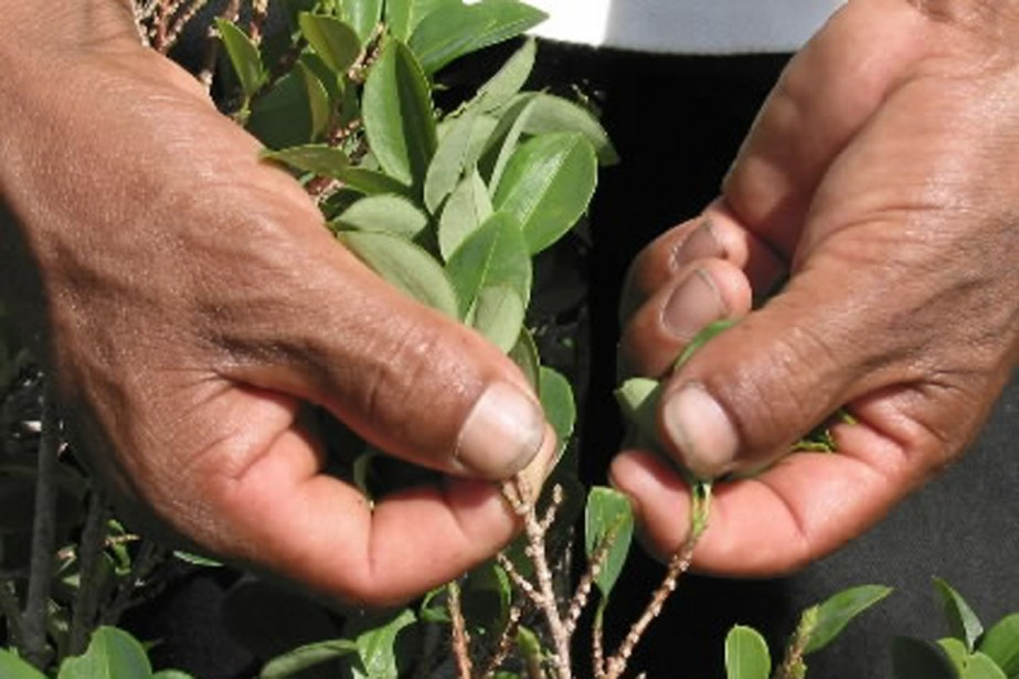 La culture de la coca, en Bolivie, est... (Photo Reuters)