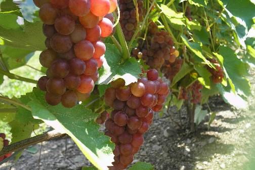 Le raisin pourrait prévenir les maladies... (Photo: Photothèque La Presse)