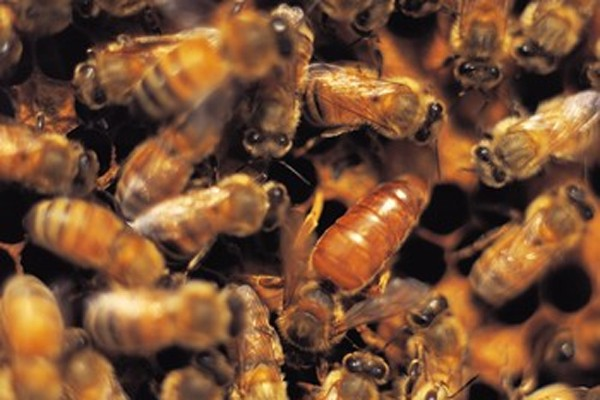 Mystère chez les apiculteurs: depuis plusieurs années, des... (Photo: La Presse)