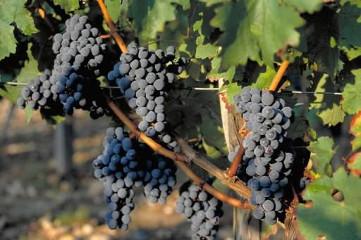 Un vignoble en France... (Photo: archives La Presse)