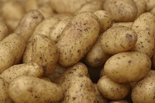 Créer des pommes de terre plus robustes et plus... (Photothèque La Presse)