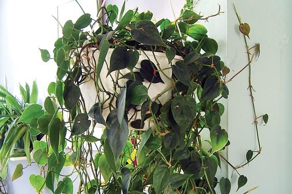la plus facile des plantes d 39 int rieur larry hodgson collaboration sp ciale horticulture. Black Bedroom Furniture Sets. Home Design Ideas