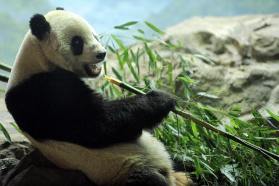 Tai Shan grignotte une pousse de bambou avant... (Photo: AFP)