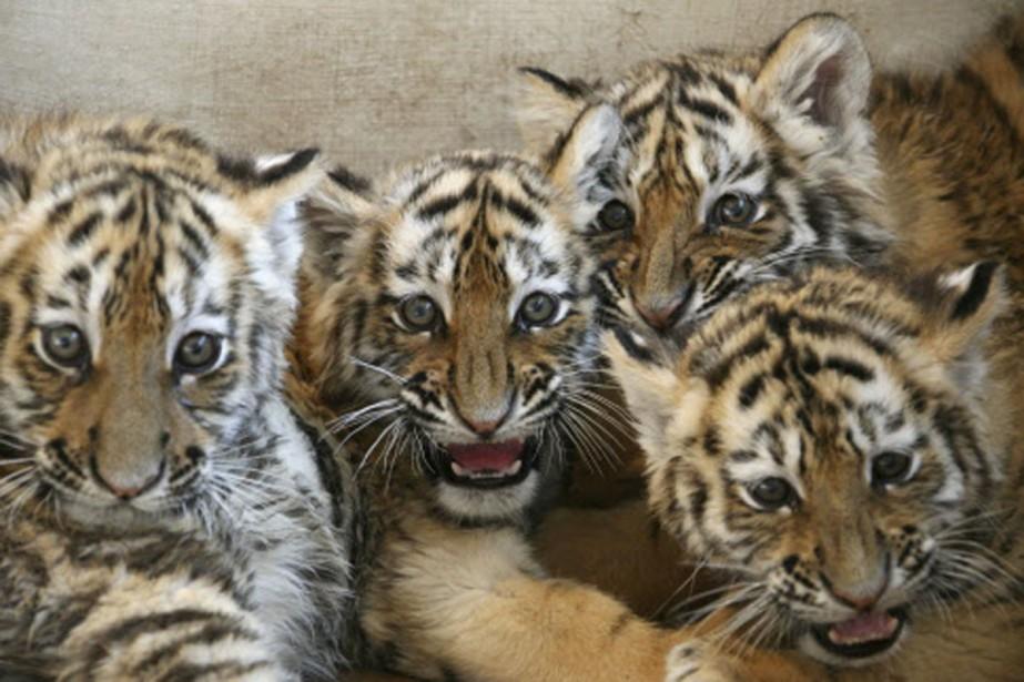 Des tigres de Sibérie peuvent être observés dans... (Photo: Reuters)