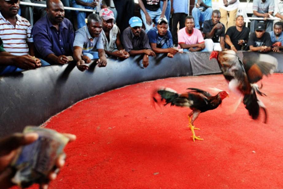 Les combats de coqs sont une institution en... (Photo: AP)