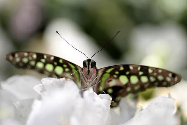 Un papillon porte-queue geai à l'Insectarium de Montréal.... (Photo: Vac-Voy)