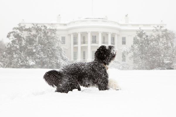 Bo, le chien des Obama, joue dans la... (Photo AFP)