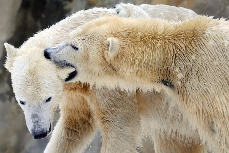 L'ours Knut et sa compagne Gianna.... (Photo: AFP)