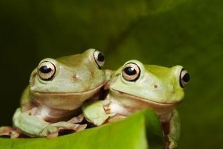Une autre espède de grenouilles présentes en Australie.... (Photo: AFP)