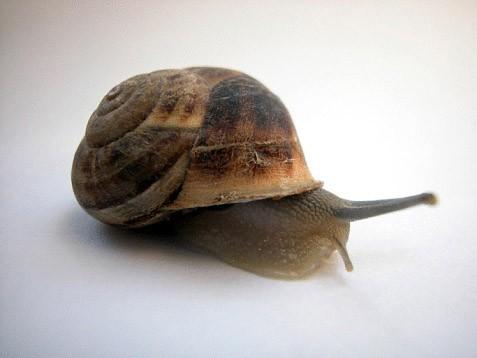 Si vous voyez un jour un escargot avec du vernis à... (Photothèque La Presse)