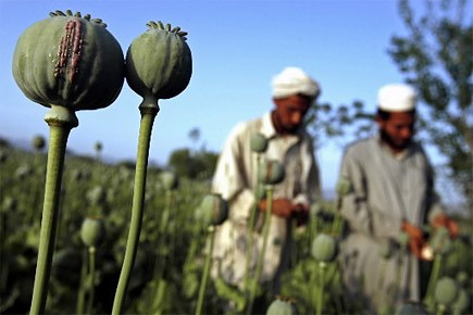 Des hommes travaillent dans un champ de pavot... (Photo: archives Reuters)